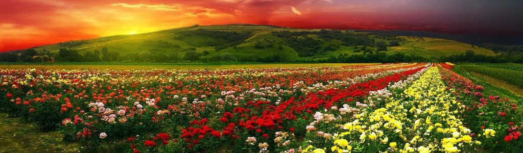 Sunrise Field Of Roses Wide Desktop Background